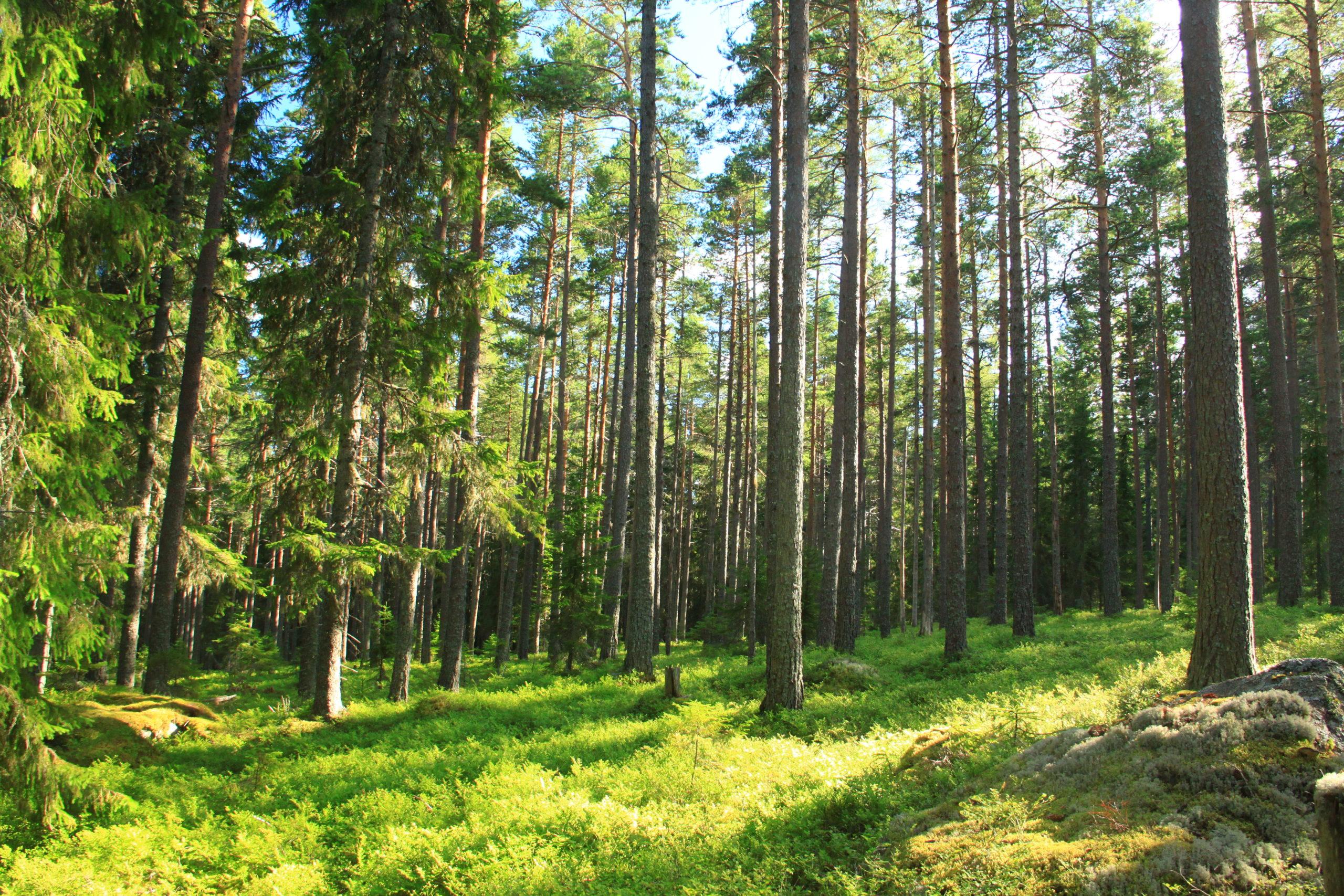 Bild på skog, Brattåsstiftelsen, skogsvetenskaplig forskning, skogsförvaltning