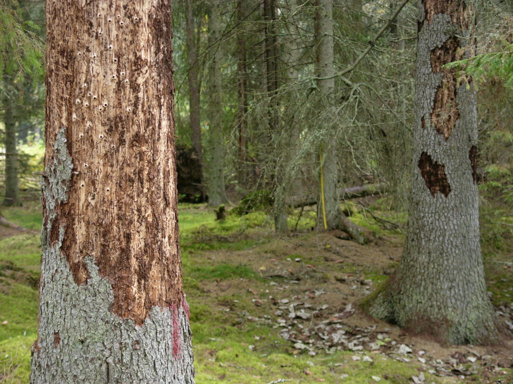 Aggregation of spruce bark beetle in mixed and pure stands