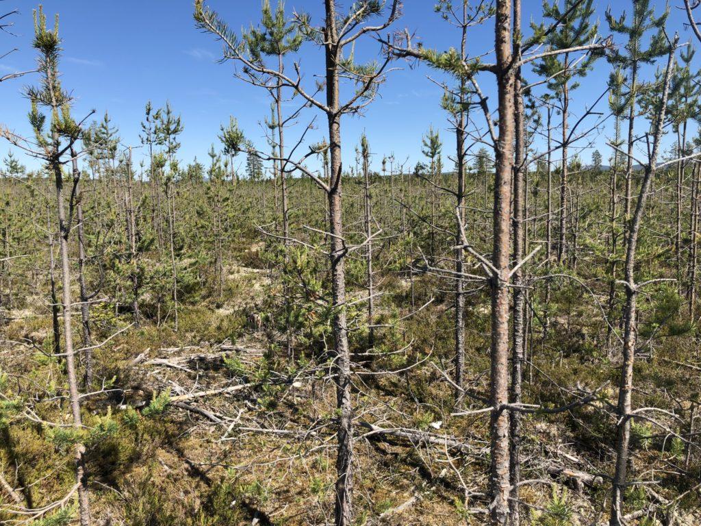 Älgbetets roll i Norrlands multiskadade tallskogar